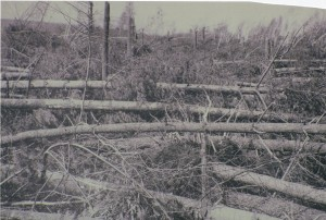 Photograph of Omar Pease's pines after being felled by the Hurrican of 1938.