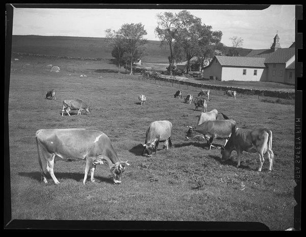cows_1944