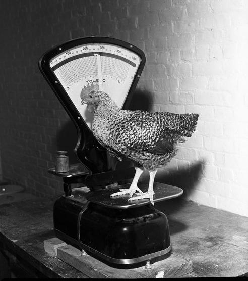 weighing_birds_1
