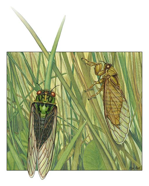 Virge Kask's Grass Cicada Courtship.